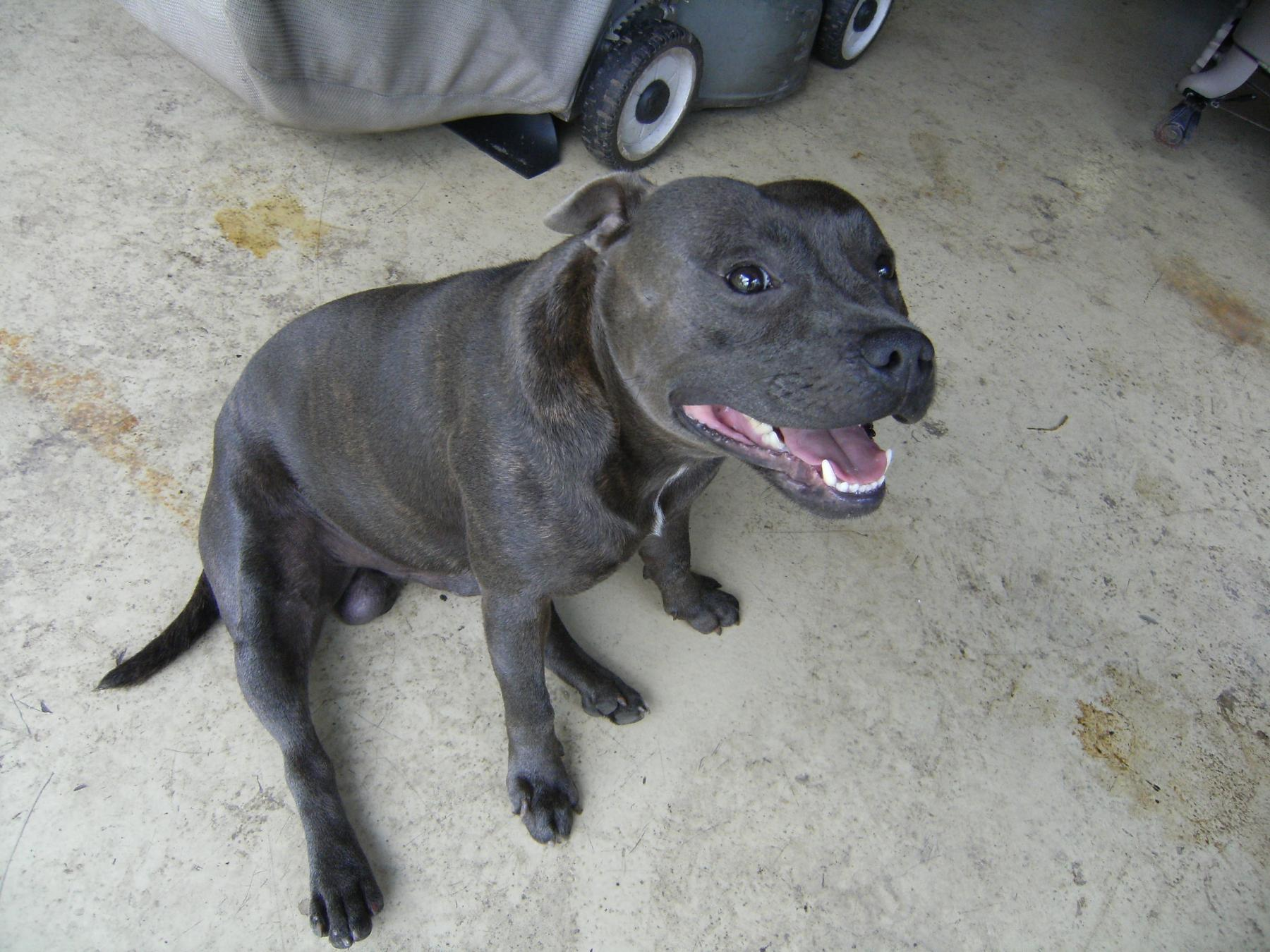 Blue Staffy For Sale : Non rc purebred blue english staffy r c tech forums