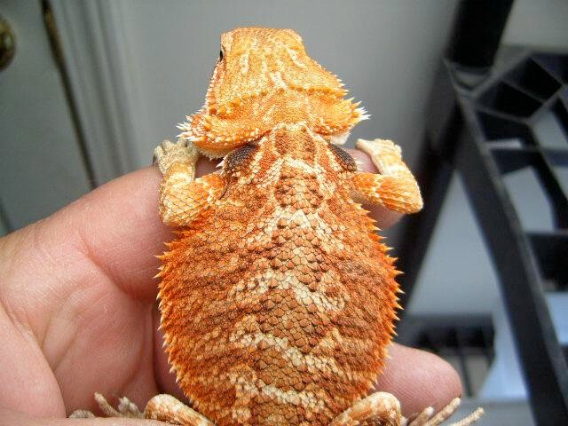 Bearded Dragons for sale!! - R/C Tech Forums